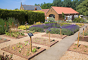 National collection of lavender  plants at Norfolk Lavender, Heacham, Norfolk, England
