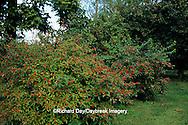 63808-02315 Common Winterberry bush (Ilex verticillata) with berries near Washington Hawthorn tree & American Cranberry bush in Marion Co.,  IL