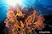 sea fan, Koh Dok Mai, off Phuket, Thailand, ( Andaman Sea, Indian Ocean )