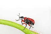 [captive] Hazel Leaf-roller Weevil (Apoderus coryli) Westensee, Germany (sequence 1/9) | Haselblattroller (Apoderus coryli) Familie der Dickkopfrüssler (Attelabidae)