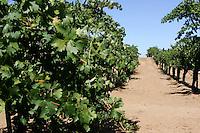 10 September 2006: Grape vineyard row at Wilson Creek Winery in Temecula Valley, CA.