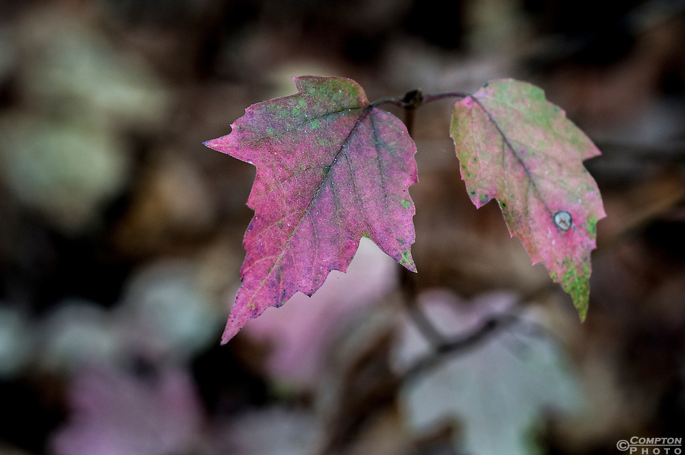 Purple fall maple leaves