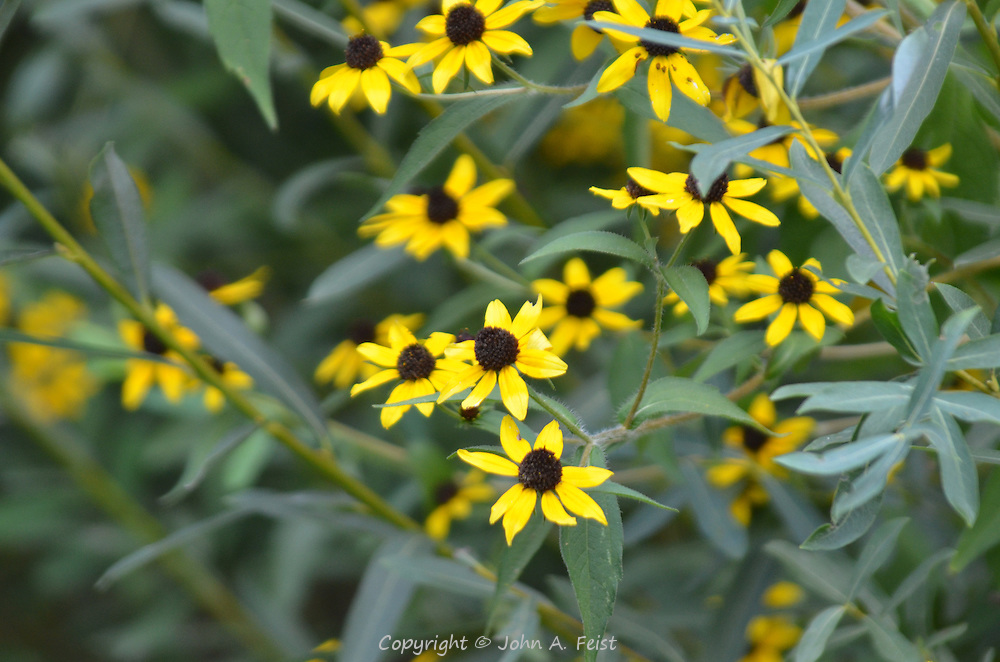 These black eyed susans are all different yet all the same.  Notice one bug on a leaf.  Hillsborough, NJ