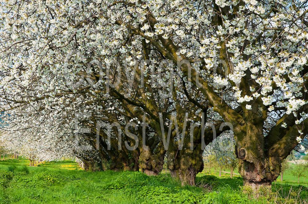 alte Kirschbäume, blühender Kirschbaum, Kirschblüte, Frühling, Wiesbaden-Frauenstein, Rheingau, Hessen, Deutschland.|.cherry blossom, spring, Wiesbaden-Frauenstein, Rheingau, Hessen, Germany