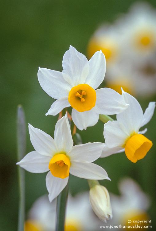 Narcissus canaliculatus syn. Narcissus tazetta subsp. lacticolor - species