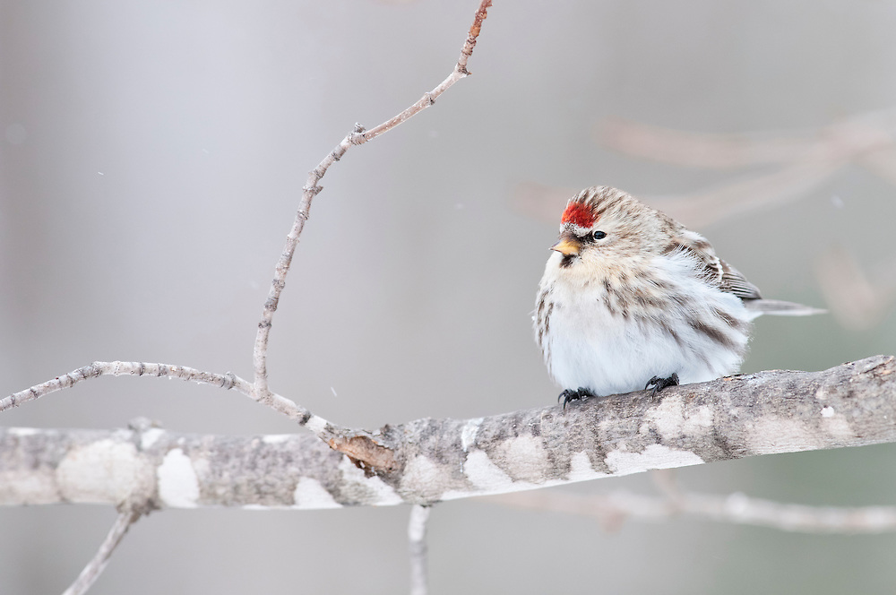 Common Redpoll, Carduelis flammea, Luce Co., Michigan