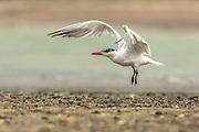Caspian Tern lifting off the ground and preparing for flight, Waiheke Island, New Zealand
