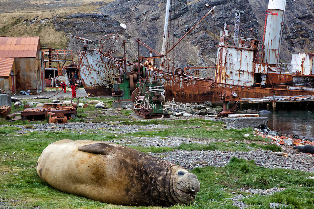 Elephant seal and remains of Gryvitken, South Georgia