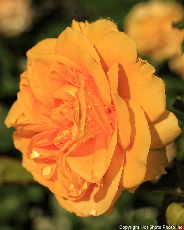 Orange rose after rainfall