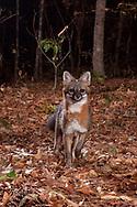 Gray Fox (Urocyon cinereoargenteus)<br /> United States: Alabama: Tuscaloosa Co.<br /> Tulip Tree Springs off Echola Rd.; Elrod<br /> 24-Oct-2016<br /> J.C. Abbott &amp; K.K. Abbott