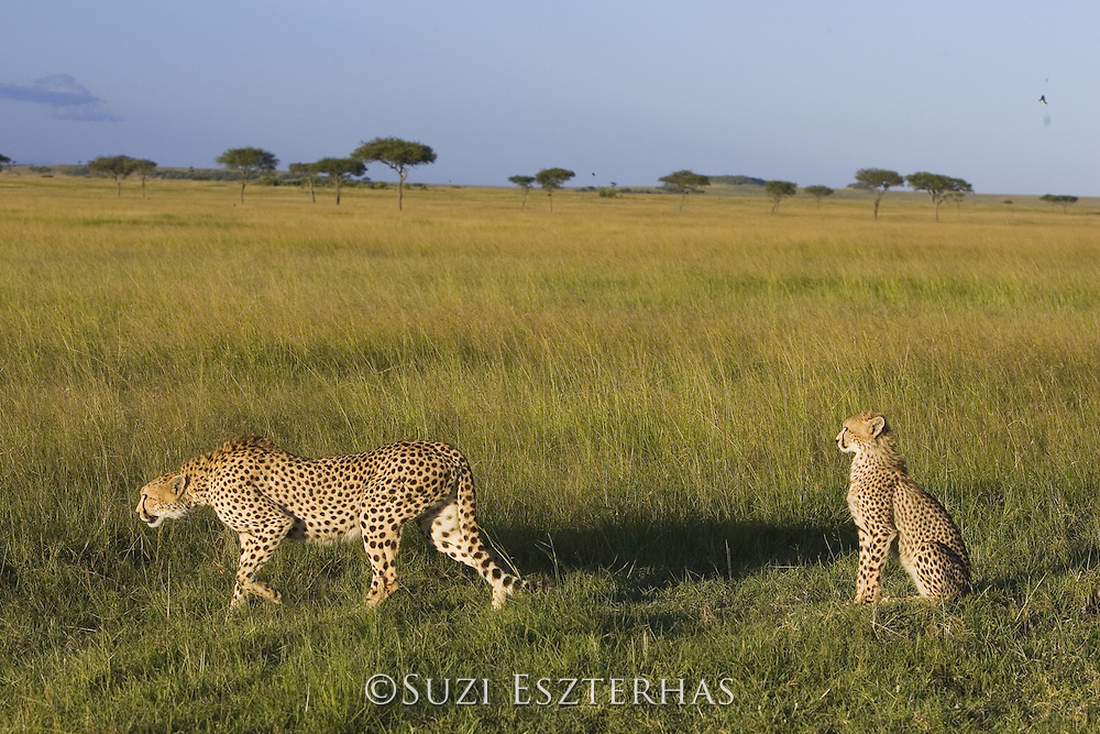 Cheetah <br /> Acinonyx jubatus<br /> Mother and 7-9 month old cub<br /> Masai Mara Conservancy, Kenya