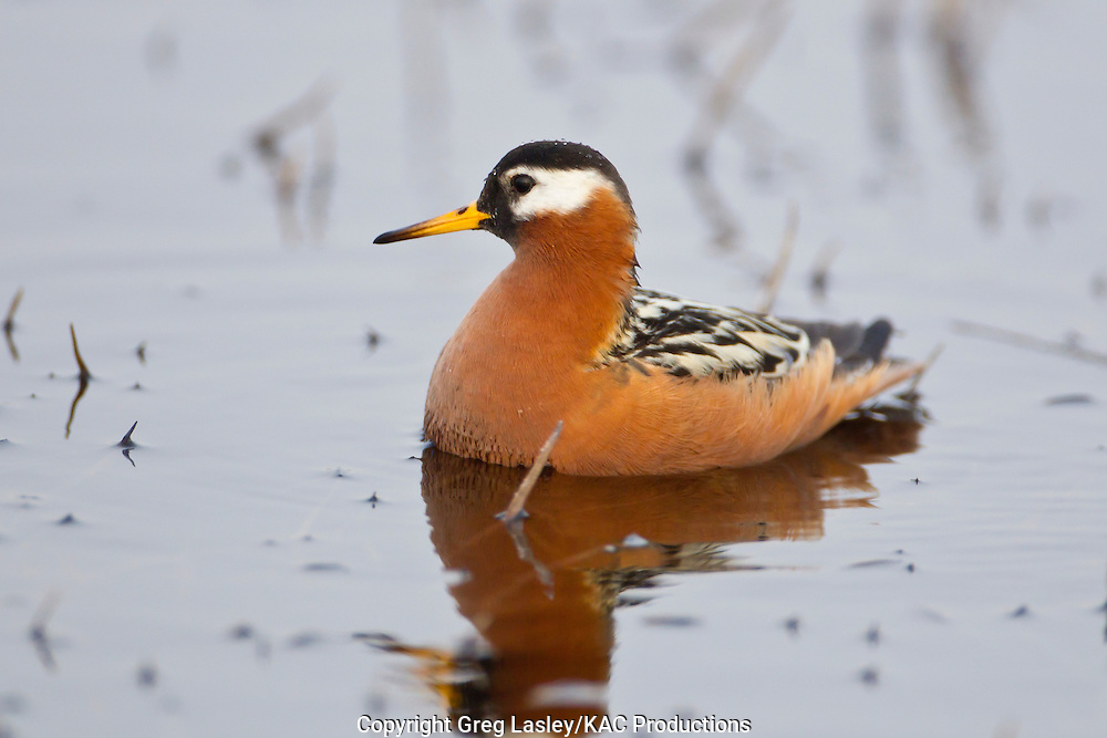 Red Phalarope<br /> Phalaropus fulicarius<br /> female - breeding plumage<br /> Barrow, Alaska<br /> 12 June 2012<br /> 71.255<br /> -156.542