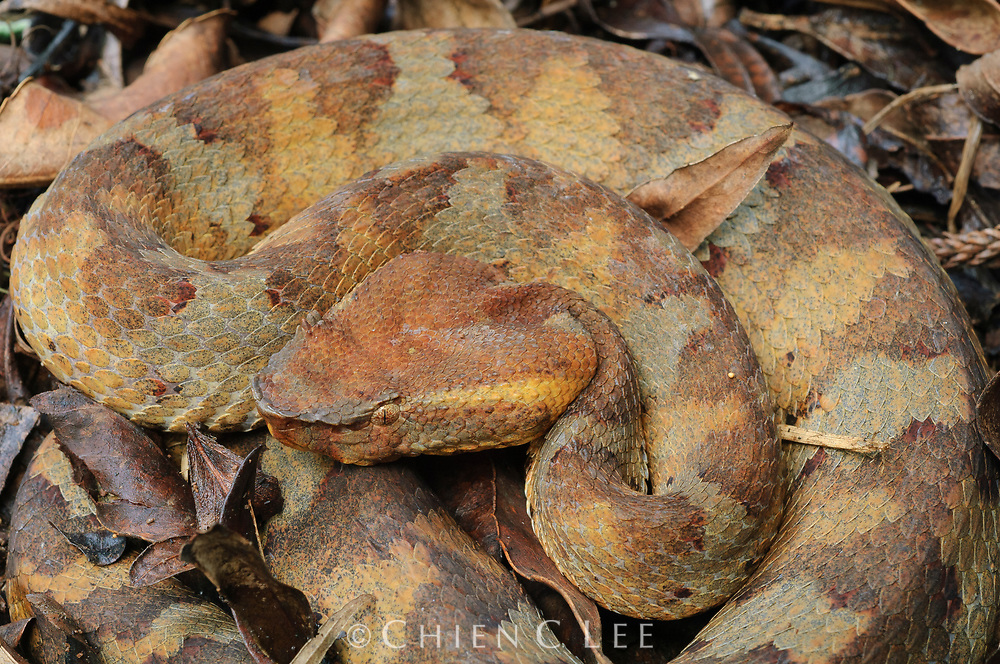 Trimeresurus puniceus, a terrestial pit viper from western Indonesia.  West Java, Indonesia.
