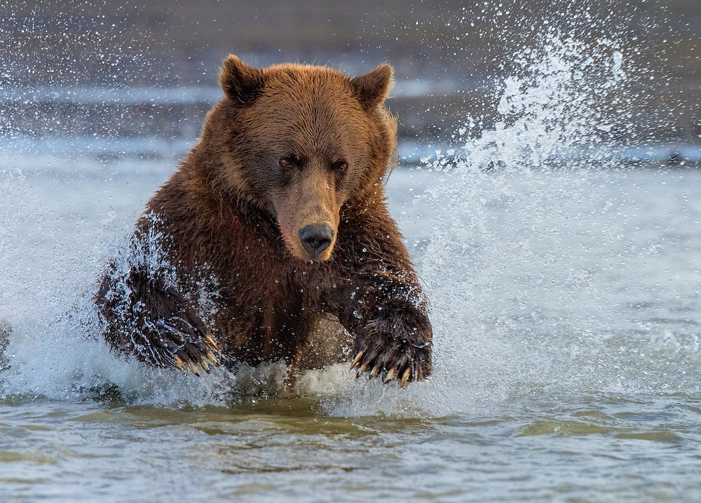 Coastal Brown Bear (Ursus arctos) chasing a fish, Silver Salmon Creek, Lake Clark National Park and Preserve, Alaska