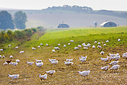 Free-range chickens of breed  Isa 257 roam freely at Sheepdrove Organic Farm , Lambourn, England. Beyond are mobile roosting houses.