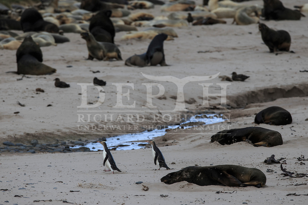 Megadyptes antipodes (Yellow eyed penguin) run the gauntlet through a colony of Phocarctos hookeri (New Zealand Sea Lion) at Sandy Bay, Enderby Island, Auckland Islands, New Zealand.<br /> 05 January 2016. <br /> Photograph Richard Robinson &copy; 2016