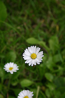 Three daisys growing in grass in an irish garden environment