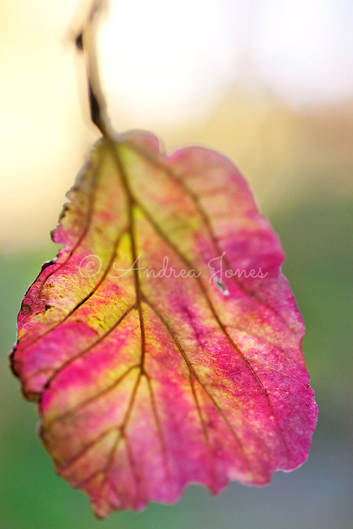 Parrotia persica (Persian ironwood)