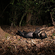 The sun bear (Helarctos malayanus) is a bear species occurring in tropical forest habitats of Southeast Asia. It is listed as Vulnerable on the IUCN Red List. The global population is thought to have declined by more than 30% over the past three bear generations. Suitable habitat has been dramatically reduced due to the large-scale deforestation that has occurred throughout Southeast Asia over the past three decades