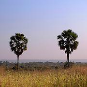 Benin, Natitingou November 30, 2006 -  Palm tress
