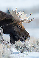 A young moose searches for food in the snow in Jackson Hole Wyoming