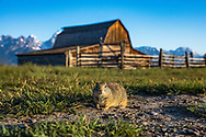 Ground Squirrel and the Barn - Uinta Ground Squirrel - Grand Teton National Park, WY