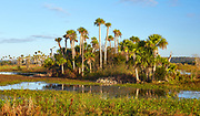 Stand of palm trees at Orlando Wetlands Park in Orange County, Florida