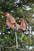 Family of Proboscis Monkeys (Nasalis larvatus) by Kinabatangan River, Sabah