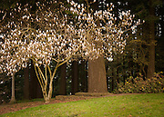 Saucer Magnolia (Magnolia soulangiana), Mount Tabor Park, Portland, Oregon, USA.  Also commonly called Tulip Magnolia for its flowers that are tulip-like at first, then open to large, open saucer-shaped petals in early spring. In 1903, John Charles Olmsted of the Massachusetts-based landscape design firm Olmsted Brothers recommended that a city park be developed at Mount Tabor.  Portland Parks Superintendent Emanuel T. Mische, who had worked at Olmsted Brothers, consulted with Olmsted on the park layout and integration of the reservoirs into the park design.