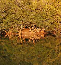 Mangroves reflections in Shoal Bay on the Kimberley coast.