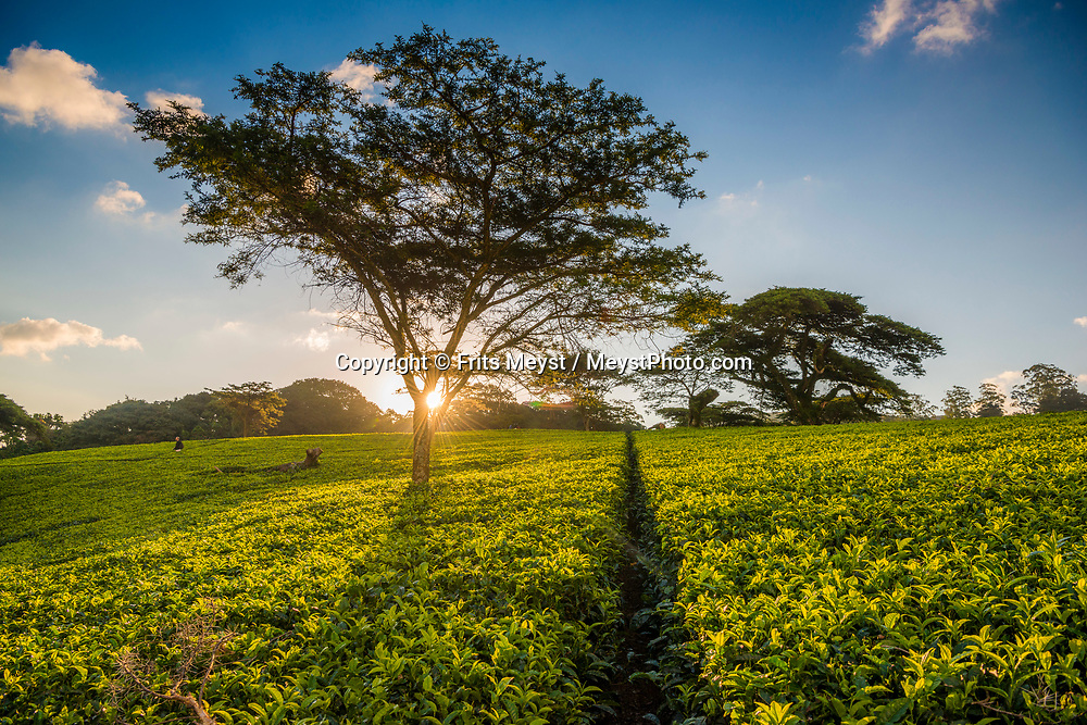 Malawi, July 2017. As one of Malawi's first land claims registered in 1874, Satemwa Tea Estate in Thyolo district is among the country's longest established tea and coffee producers managed and operated by third generation members of the Cathcart Kay family. Malawi is known for its long rift valley and the third largest lake in Africa: Lake Malawi. Malawi is populated with friendly welcoming people, who gave it the name: the warm heart of Africa. In the south the lake make way for a landscape of valleys surrounded by spectacular mountain ranges. Photo by Frits Meyst / MeystPhoto.com