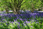 Shafts of sunlight illuminate a carpet of English bluebells (Hyacinthoides non-scripta) in a hazel coppice in West Woods, near Huish, Wiltshire.<br />