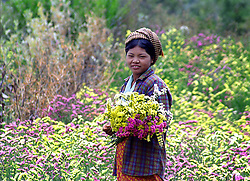 BURMA (MYANMAR) Shan State, Kalaw. 2006. A Danu woman harvests the beautiful flowers their tribe is known for. The fertile hill country around Kalaw supports crops thee times a year.