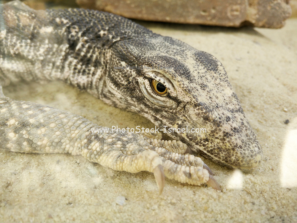 Close up of a lizard in the Mitzpe Ramon reptile park
