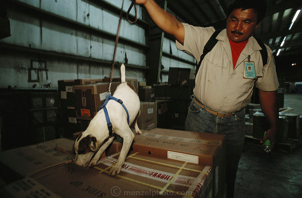 Guam airport. Jack Russel Terrier searching, sniffing for brown tree snakes in the freight section of the airport. They want to keep the snakes from spreading to other islands or the mainland USA. There are no birds on the Pacific Island of Guam thanks to the Brown Tree Snake. These hungry egg-eating snakes have overrun the tropical island after arriving on a lumber freighter from New Guinea during World War II. Besides wiping out the bird population, Brown Tree Snakes cause frequent power outages: they commit short circuit suicide when climbing between power lines.