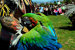 A brilliantly colored macaw graces the arm of one of Yaocuauhtli's drummers. The group performed at the Caminos Del Arte Festival on Sunday, August 5th, 3012 at Natividad Creek Park in Salinas.