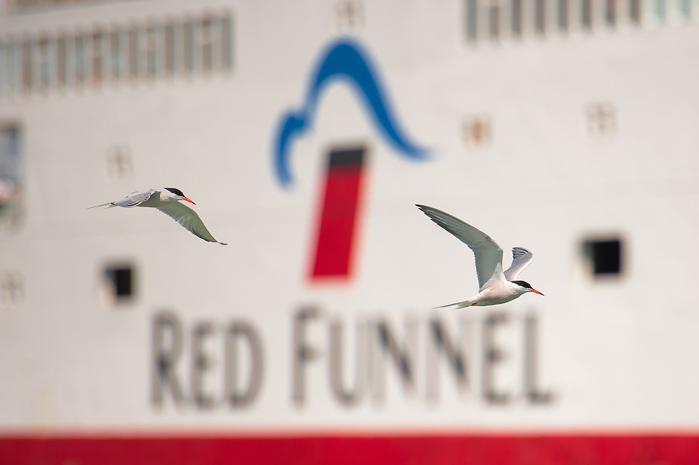 Common Terns in Cowes Harbour, Isle of Wight... seem to be in Red Funnel corporate livery? High Flyers?
