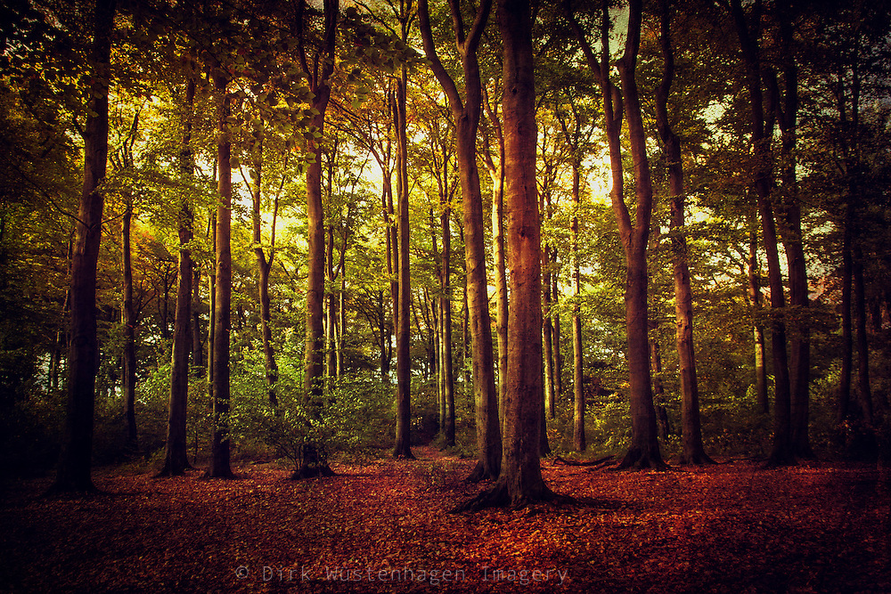 Beech tree forest in autumn - texturized photograph