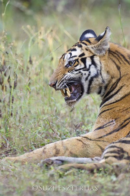 Tiger  <br /> Panthera tigris<br /> Bandhavgarh National Park, India