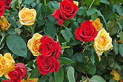 Red and Yellow Roses, roses, Love, bloom, blooming, blooms, blossom,  Red, color, flora, flower, flowering, flowers, nature,