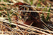 A common frog seen on the descent from Beinn Alligin, near Loch Torridon, Scottish Highlands