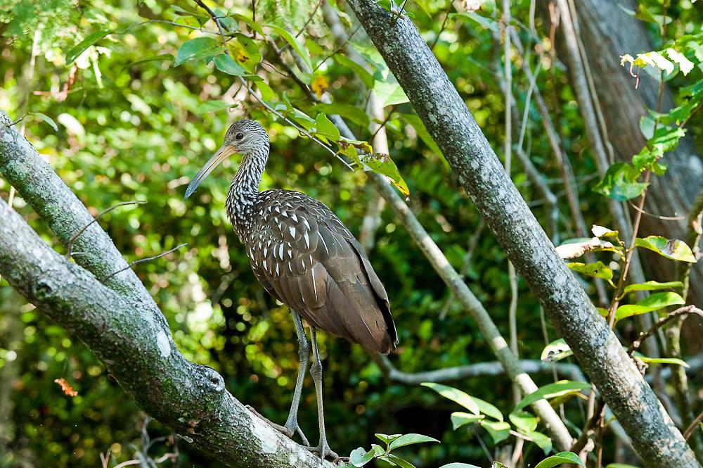 Limpkin (Aramus guarauna) sitting on a tree branch along the Loxahatchee River in Jupiter, FL.