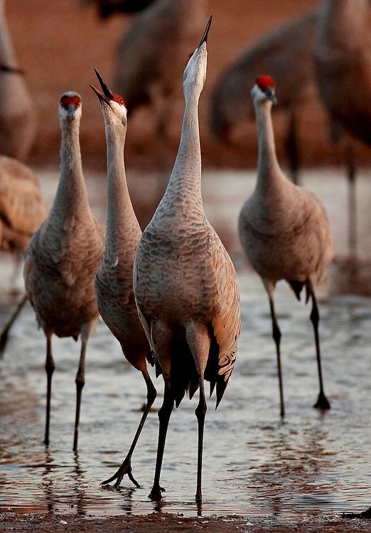 PlatteRiver2008.8-Sandhill Cranes make their annual stopover along the Platte River in central Nebraska during the spring migration.