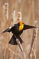 A Yellow Headed Blackbird is about to fly from cattails in a northern Utah marsh.
