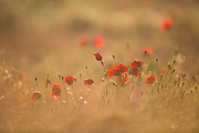 Selective focus of a field of wild red poppies Photographed at the Ein Afek nature reserve, Israel