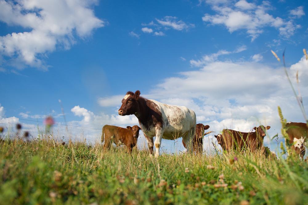 Beef cattle in Hookstown, PA