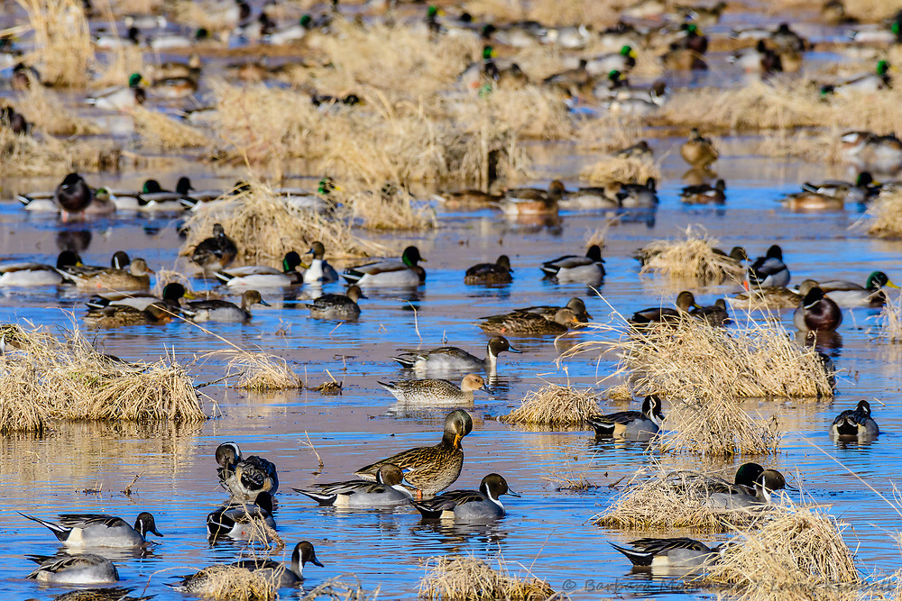 Northern Pintail [Anas acuta], Mallards [Anas platyrhynchos] feeding on refuge lake; Bosque del Apache NWR., NM