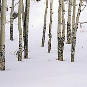 Aspens in snow, Rocky Mountain NP, CO.