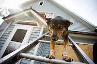 JEROME A. POLLOS/Press..Cody, one of eight rescue and recovery dogs with North Idaho Search Dogs, makes his way down a ladder from a second story window during a training session Thursday in Coeur d'Alene. The Australian shepherd/border collie mix has been in training for the past year and will go through certification later this year.