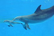 """Dolphin Gives Birth at Brookfield Zoo<br /> <br /> Brookfield, IL—The Chicago Zoological Society, which manages Brookfield Zoo, is happy to announce the birth of a male dolphin calf born on October 16. The calf, born to Tapeko, 31, is approximately 40 pounds and 3.5 feet long. The zoo's dolphin presentations have been temporarily canceled to allow Tapeko and her calf time to bond and get acquainted with the other dolphins in the group. Although the calf and his mom are currently off exhibit, the Seven Seas underwater viewing gallery will remain open. <br /> <br /> Following the birth, it is important for the calf to demonstrate several key milestones, including nursing and slipstreaming, which is when the calf rests in his mom's """"slipstream"""". This hydrodynamic wake is made by the mother as she swims using her own energy to help glide the calf. Marine mammal and veterinary staff have observed the new calf displaying these behaviors and are encouraged by what they have seen so far, however they remain cautiously optimistic.<br /> <br /> """"We know that the first 30 days are extremely critical in the calf's life,"""" said Rita Stacey, marine mammal curator for the Chicago Zoological Society. This time frame accounts for the largest rate of loss to dolphin populations both in the wild and under professional care as compared to any other demographic age group. In addition to the first 30 days being crucial to a calf's survival, the first year is also filled with challenges and milestones the calf must reach.<br /> <br /> Tapeko is an experienced mother having successfully reared four calves, one of which was her grandson as well as daughters Allison 7, and Noelani, 9, who are both members of the dolphin group at Brookfield Zoo.<br /> <br /> """"This is an important time for our breeding group of females,"""" added Stacey. """"As an experienced mom, Tapeko is able to demonstrate to the younger females how to care for a newborn calf."""" This is especially timely as Spree, 11, is expected """